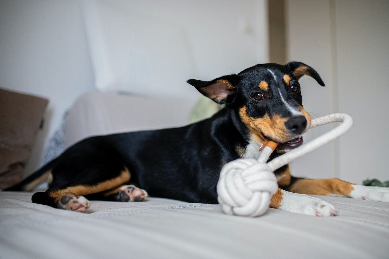 Dog holding a toy in its mouth