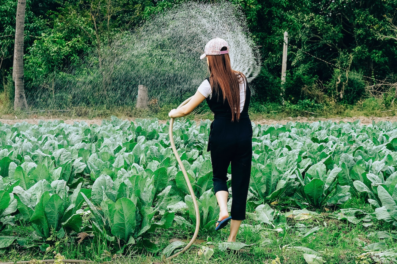 Woman in black watering a bunch of vegetables in her farm
